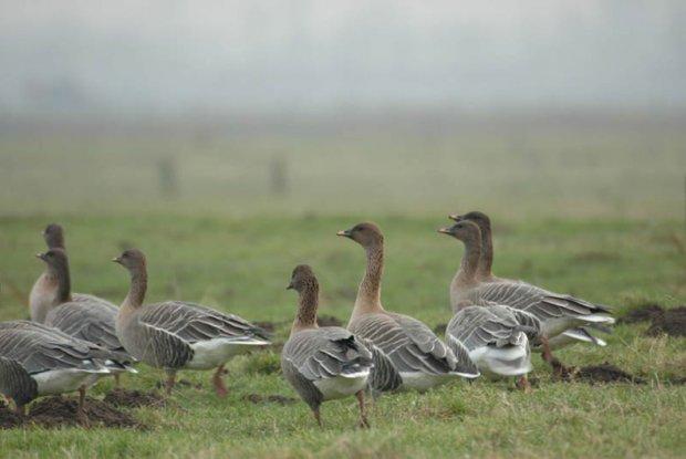 Wintergasten in het weidevogelreservaat de Uitkerkse Polders